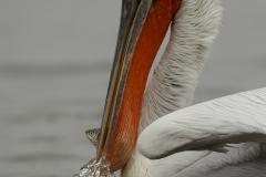 ©Богдан Боев_Къдроглав пеликан